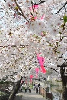 満開宣言が出された岐阜市内の桜=岐阜市加納天神町で2016年3月31日、岡正勝撮影