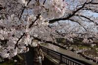 満開となった福井市の足羽川沿いの桜並木=福井市で2016年3月31日、竹内望撮影