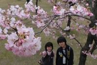 淡いピンクの花をつけた桜=金沢市丸の内の金沢城公園で2016年3月30日、竹田迅岐撮影