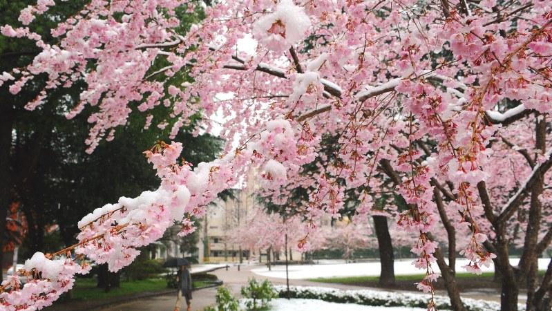 満開の桜の上に降り積もる季節外れの雪