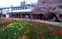 見ごろを迎えたチューリップと桜=尼崎市の阪神尼崎駅前広場で2016年4月1日、高尾具成撮影