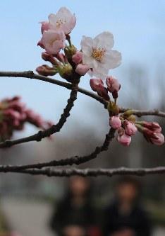 淡いピンク色の花をつけた標本木のサクラ=仙台市宮城野区五輪1で2016年4月1日、山内真弓撮影