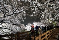 幻想的にライトアップされた山崎川の桜並木=名古屋市瑞穂区で2016年4月1日、兵藤公治撮影