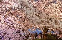 ライトアップされた桜の下で花見をする人たち=福岡市中央区の舞鶴公園で2016年4月1日、須賀川理撮影
