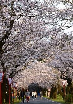 豪華なトンネルになった母智丘の桜=宮崎県都城市横市町の母智丘公園で2016年4月2日、重春次男撮影