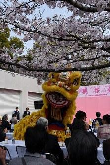 桜の木の下で披露された中国獅子舞=長崎市橋口町の中国駐長崎総領事館で2016年4月2日、大平明日香撮影