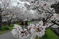 桜が満開となり薄いピンク色のトンネルができた徐福サイクルロード=佐賀市で2016年3月31日、石井尚撮影