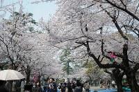 桜が満開となり、花見客でにぎわう小倉城=北九州市小倉北区で2016年4月2日、木村敦彦撮影
