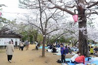 満開が宣言された標本木のソメイヨシノ=高知市丸ノ内1の高知城で2016年4月2日、柴山雄太撮影