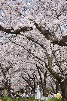 松山市・石手川緑地の桜に見ほれる人も=愛媛県松山市で2016年4月2日