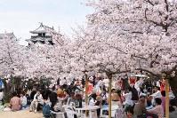 松山城に映える満開の桜の下で春を楽しむ人たち=愛媛県松山市の松山城で2016年4月2日