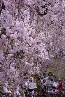 咲き誇るシダレザクラの下で花見を楽しむ人たち=徳島県神山町阿野の県立神山森林公園イルローザの森で2016年4月2日、数野智史撮影