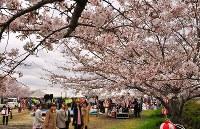 「草津川桜557フェスタ」の会場で咲き誇る桜を眺める人たち=滋賀県草津市で2016年4月2日、田中将隆撮影