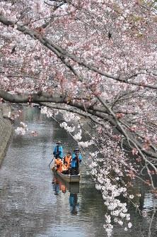 桜の下を進む舟下り=岐阜県大垣市で2016年3月30日、中村宰和撮影
