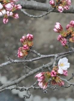 開花した県の標準木のソメイヨシノ=岩手県大船渡市民体育館敷地で2016年4月2日、野崎勲撮影