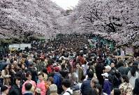 満開の桜を楽しむ大勢の人たち=東京都台東区の上野公園で2016年4月3日、竹内幹撮影