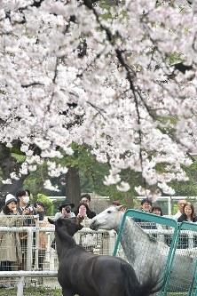 満開の桜の下で放牧される馬事公苑所属馬=東京都世田谷区の馬事公苑で2016年4月3日、宮間俊樹撮影