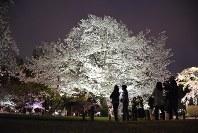 ライトアップされた満開のソメイヨシノ=高松市の栗林公園で2016年4月4日、岩崎邦宏撮影