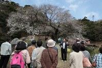 国の天然記念物「三隅大平桜」の周辺で開かれた大平桜まつり=浜田市三隅町で2016年4月2日、田中昭則撮影
