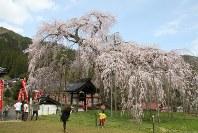 満開を迎え、観光客らでにぎわう泰雲寺の「しだれ桜」=兵庫県新温泉町竹田で2016年4月2日、竹花義憲撮影