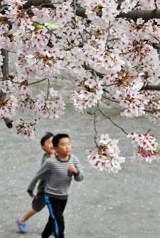 桜の木の下を走り回る子どもたち=岐阜市美江寺町で2016年4月4日、中村宰和撮影