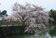 満開になった馬出門前の桜=神奈川県小田原市城内で2016年4月4日、澤晴夫撮影
