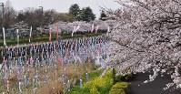満開のソメイヨシノと菜の花と川面を埋め尽くすこいのぼりの群れ=群馬県館林市役所近くの鶴生田川で2016年4月4日