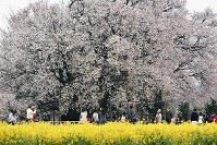 満開になった一心行の大桜と菜の花=熊本県南阿蘇村で2016年4月4日、須賀川理撮影