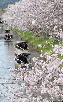 満開の桜並木の下を、ゆるゆると進む水郷巡りの舟=滋賀県近江八幡市北之庄町で2016年4月5日、金子裕次郎撮影