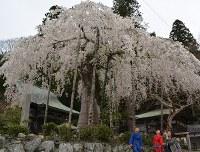 満開を迎えた延寿院の枝垂れ桜=三重県名張市赤目町長坂で2016年4月5日、竹内之浩撮影