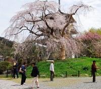 多くの観光客が見物に訪れる浄専寺の枝垂れ桜=宮崎県五ケ瀬町三ケ所で2016年4月6日、荒木勲撮影