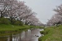 水面に桜が映った川をカモが泳いでいた=松江市玉湯町玉造で2016年3月31日、藤田愛夏撮影