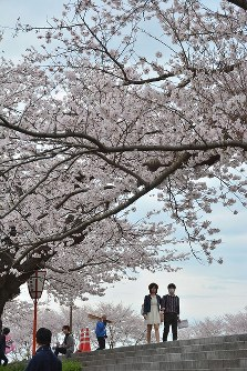 飯梨川の桜並木を歩く人たち=島根県安来市広瀬町で2016年4月3日、藤田愛夏撮影