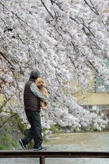 咲き誇る桜に犬もうっとり=京都市左京区で2016年4月4日、小松雄介撮影