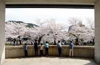 まるで額縁に入った絵のような京都市美術館の桜=京都市左京区で2016年4月5日、小松雄介撮影