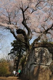 見ごろを迎えた御殿桜=群馬県沼田市西倉内町の沼田公園で2016年4月6日、米川康撮影