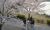 入学式の後、桜が満開となった千波湖畔を歩く茨城大の新入生=水戸市千波町で2016年4月6日、松本尚也撮影