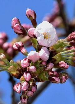 開花が宣言された酒田市の日和山公園のソメイヨシノ=山形県酒田市南新町1で2016年4月6日、高橋不二彦撮影