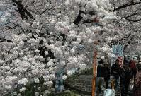 ほぼ満開となった白石川堤の「一目千本桜」=宮城県大河原町で2016年4月6日、豊田英夫撮影