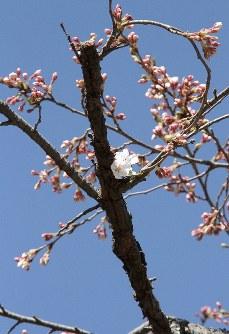開き始めた桜。ほかのつぼみも膨らみを増している=岩手県奥州市で2016年4月6日、和泉清充撮影