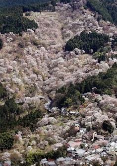 桜に覆われた吉野山=奈良県吉野町で2016年4月6日、本社ヘリから幾島健太郎撮影
