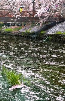 雨に打たれ、散った桜の花びらが川面を流れる五条川=愛知県岩倉市で2016年4月7日、大竹禎之撮影
