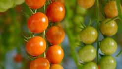 懐かしい酸味と甘みが特徴のミニトマト・スプラッシュ=小高朋子撮影
