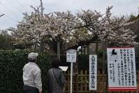 豊臣秀吉が手植えしたとされる法光寺の八重桜が満開になった=佐賀県唐津市で2016年4月7日、原田哲郎撮影