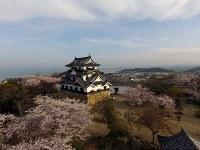 ひこドローンが撮影した満開の桜に包まれた国宝・彦根城天守=彦根市シティプロモーション推進室提供