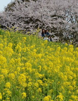 桜とともに見ごろを迎えている「さばえ菜花」=福井県鯖江市小黒町2の日野川河川敷で2016年4月6日、竹内望撮影