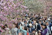 造幣局の「桜の通り抜け」を楽しむ大勢の人たち=大阪市北区で2016年4月8日、大西岳彦撮影