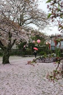 枝に残った花と芝に積もった花びらで一面ピンク色となった平池公園=福岡県豊前市八屋で2016年4月7日、降旗英峰撮影