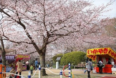 震災から6度目の春。改修されて間もない松ケ岡公園では桜が見頃を迎え、真新しい遊具で親子連れが遊び、露店が並ぶ広場に花見客が集う。そんな生き生きとした営みに満ちる光景に、モニタリングポストが何気なく入り込む=福島県いわき市で2016年4月、山本晋撮影