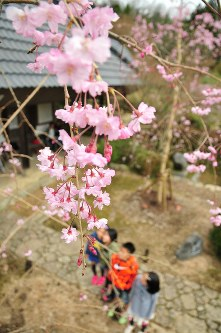 花をつけた、麻田藩主の子孫らが奉納した枝垂れ桜=兵庫県三田市末吉の方広寺で2016年4月8日、栗飯原 浩撮影
